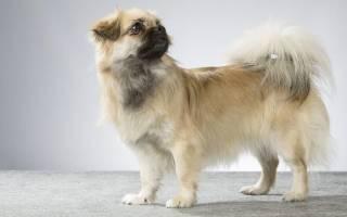 Тибетский спаниель: описание породы, питомники и стоимость щенков