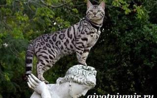 Кошка ашера: описание большой и новой породы