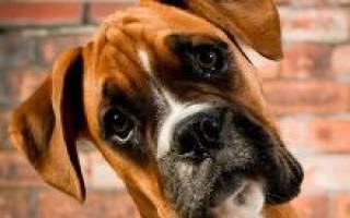 Собака боксер: 3 вида породы, описание, характеристика