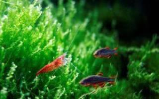 Креветки в аквариуме: содержание и уход, совместимость с рыбками и размножение