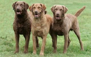 Чесапик бей ретривер: описание и характеристика породы собак