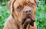 5 причин, почему собака ездит на попе: что это значит, лечение