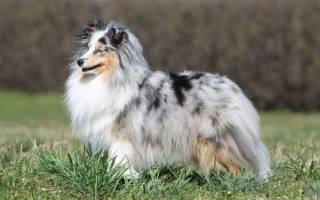Собака шелти или шотландская овчарка: описание и характеристика породы