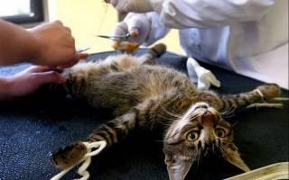 Можно ли кастрировать взрослого кота: в 2, 3, 4 года, 5, 6, 7, 8 и 10 лет, если он уже был с кошкой