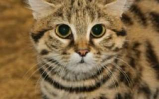 Черноногая кошка (африканская): описание и ареал обитания в диких условиях, повадки и содержание в неволе