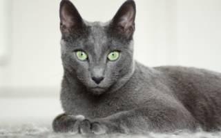 Корат кошка: описание породы, достоинства и недостатки, темперамент