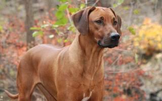 Родезийский риджбек: характеристика породы и описание породы собак для охоты на львов