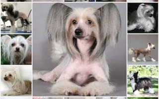 Китайская хохлатая собака: уход и содержание, характеристика, описание
