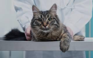 Кот хромает на переднюю или заднюю лапу без видимых повреждений: что делать, причины и заболевания
