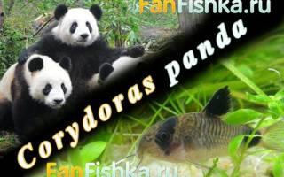 Коридорас панда: содержание сомика в аквариуме и совместимость с другими рыбами