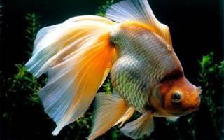 Вуалехвост или золотая рыбка: содержание, уход и разведение аквариумной рыбы