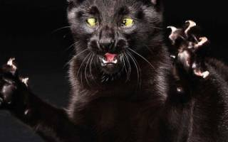 Бешенство у кошек: симптомы, первые признаки и опасность для человека