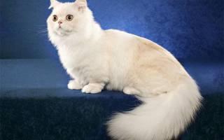 Кошка менуэт (наполеон): описание породы, содержание и уход, особенности разведения