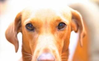 Колит у собаки: симптомы и лечение болезни воспаления кишечника