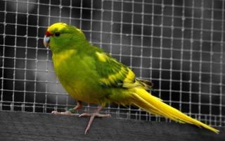 Попугай какарик: описание прыгающей новозеландской птицы, умеет ли разговаривать