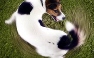 8 причин, почему собака грызет свой хвост до крови: что делать и как лечить
