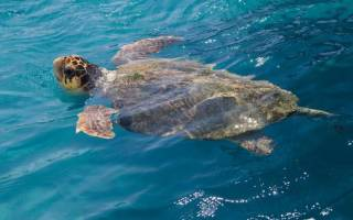 Морские черепахи: чем питается, виды, уход в домашних условиях, содержание
