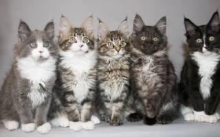 10 окрасов породы мейн кун: черный, белый, красный мрамор, голубой солид и другие окрасы кошек этой породы