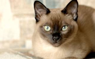 Тонкинская кошка: описание и окрасы представителей породы, содержание и уход, питание и размножение