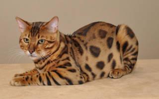 7 самых популярных пород пятнистых кошек: описание, цена, фотографии