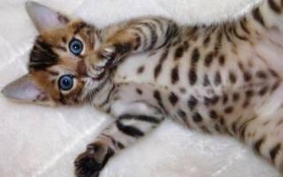 Бенгальская кошка: описание породы, характер, чем кормить котят