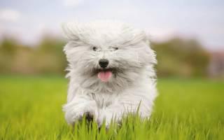 9 самых популярных маленьких и пушистых собачек: фото, описание и стоимость