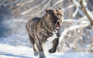 Канарский дог или перо де преса канарио: описание и характеристика породы собак