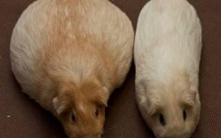 Беременность у морской свинки: сколько длится беременность, как понять, что она беременна, роды морской свинки