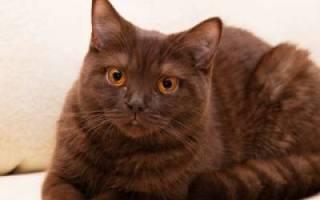 Йоркская шоколадная кошка: описание породы, темперамент и правила питания, содержание и уход