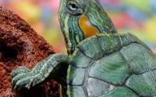 Почему у черепахи мягкий панцирь: что делать и как лечить