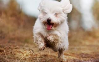 Собака болоньез или итальянская болонка: описание и характеристика, правила содержания и ухода
