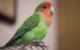 Умер попугай: причины гибели, как пережить смерть питомца и где его похоронить