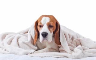 Демодекоз у собак: причины, симптомы и лечение, как выглядит, мазь