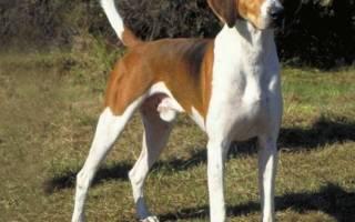 Английский фоксхаунд: описание породы собак и ее характер