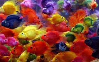 Рыба попугай: описание и уход за аквариумной цихлидой, совместимость и правила содержания