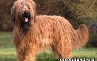Порода собак Бриар: описание и стоимость щенка, характеристика