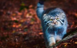 Кот манул: описание степного животного, где обитает, чем питается