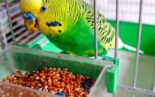 Волнистые попугаи: что едят в домашних условиях, рацион питания, как назвать, как отличить мальчика от девочки