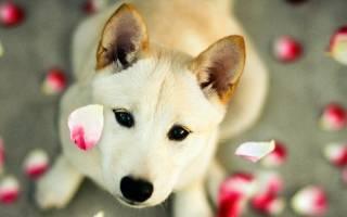 Течка у собак: длительность, как начинается, как проходит, периодичность