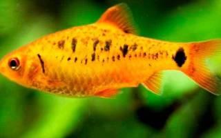 Барбусы: уход и содержание в домашних условиях, виды и совместимость с другими аквариумной рыбки