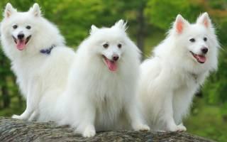 Японский шпиц: описание породы и характера собаки