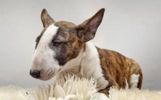 Собака бультерьер: описание породы и характеристика, как выглядит, история породы