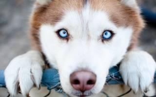 10 самых умных преданных пород собак: фото, описание и стоимость