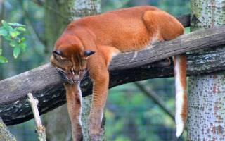 Африканская золотая кошка: происхождение, ареал обитания знаменитого африканского кота, образ жизни