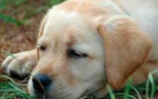 Энтерит у собак: симптомы и лечение в домашних условиях, что это такое