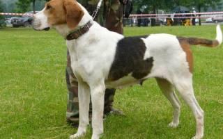 Русская гончая: описание породы и ее характеристика, содержание и уход, характер собаки