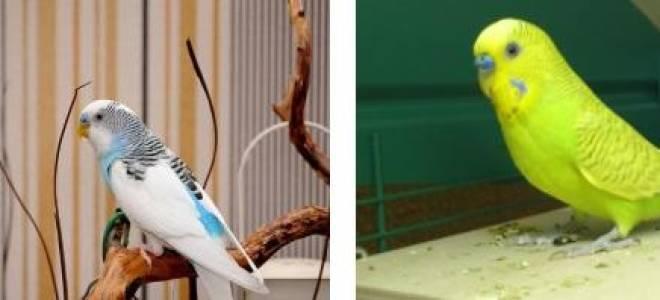 11 видов попугаев: маленькие, средние, большие и их описание