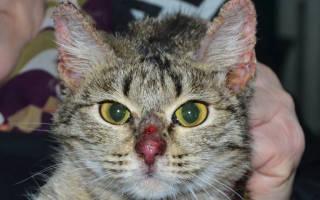 3 вида дерматита у кошек: лечение в домашних условиях, симптомы