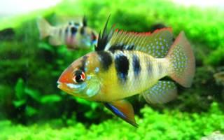 Апистограмма рамирези или цихлида бабочка: содержание рыбки и уход в домашних условиях