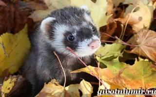 Лесной хорек: как он выглядит, характер и повадки, описание и характеристика